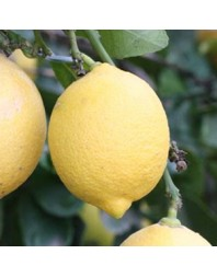 Limonero variedad Fino