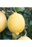 Limonero variedad Fino 3 años