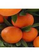 Satsuma variedad Okitsu